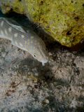 Sharptail Eel 03 Stock Photography