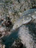 Sharptail Eel 04 Stock Images