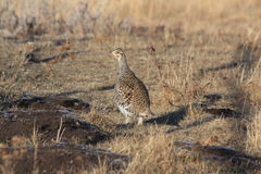 Sharptail grouse Stock Photo