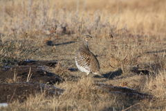 Sharptail grouse. A sharptail grouse poses in its natural habitat Royalty Free Stock Image