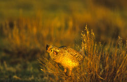 Sharptail grouse on Lek. A male sharptail grouse displaying for females on a lek in spring Royalty Free Stock Photo