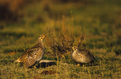 Sharptail Grouse on Lek. Two sharptail grouse on a lek in spring Royalty Free Stock Photos
