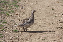Sharptail grouse on lek. Sharptail grouse wanders on a lek Royalty Free Stock Image