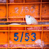 Sharptooth snappers lying on ice in a transportation box Damage from shipping Stock Photo