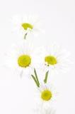 Shasta Daises (Chrysanthemum maximum) on White Royalty Free Stock Photography
