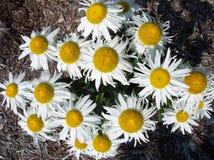 Shasta daisies Stock Image