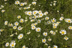 Shasta Daisies royalty free stock images