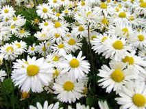 Shasta Daisies Blooming. This  is a cluster of white Shasta Daisies blooming in a flower garden on a summer day Royalty Free Stock Photo