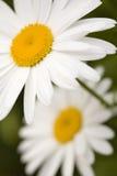 Shasta Daisies Closeup Stock Image