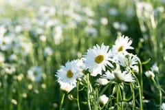 Shasta Daisies flowers in Furano garden , Hokkaido royalty free stock photos