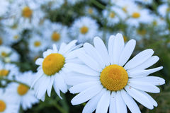 Shasta Daisies. One daisy  against a blurred background of other daisies Royalty Free Stock Image