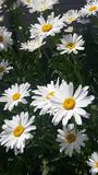 Daisies are the Happiest Flower royalty free stock image