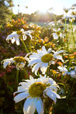 Shasta Daisies in sunrise stock photography