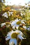 Shasta Daisies in sunrise Stock Photography