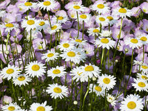 Free Shasta Daisies With Musk Mallow Behind Stock Photography - 14698452