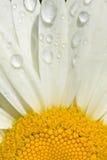 Shasta daisy Stock Image