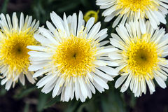 Shasta Daisy Royalty-vrije Stock Afbeeldingen