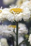 Shasta Daisy Royalty-vrije Stock Foto's