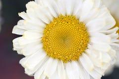 Shasta Daisy Royalty-vrije Stock Fotografie