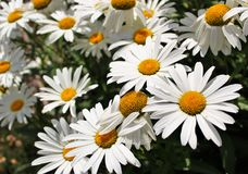 Shasta daisy flowers. Bloom in summer sun Royalty Free Stock Photo