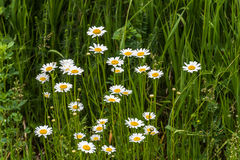 Shasta Daisy flowers. Royalty Free Stock Images