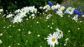 Shasta daisy flowers stock video footage