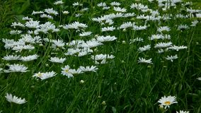Shasta daisy flowers stock footage
