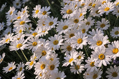 Shasta Daisy. Leucanthemum × superbum or Shasta Daisy royalty free stock photos