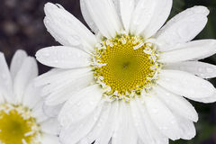 Shasta Daisy Royalty Free Stock Photos