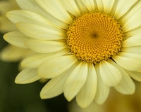 Shasta daisy or Marguerite closeup Stock Images
