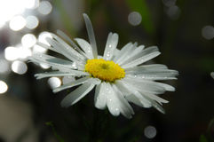 Shasta Daisy in morning dew Stock Image
