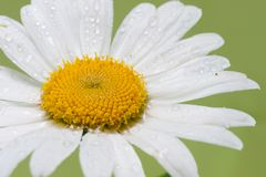 Shasta Daisy with rain drops Stock Images