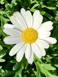 Little White daisy in green Grass royalty free stock photography