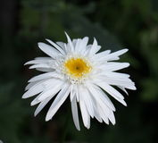 Shasta Daisy Royalty Free Stock Photo