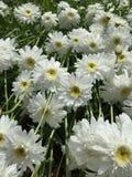 Shasta Daisys Fotografia Stock