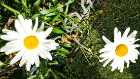 Shasta Daisys Стоковая Фотография RF