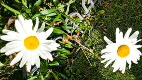 Shasta Daisys στοκ φωτογραφία με δικαίωμα ελεύθερης χρήσης