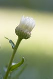 Shasta Gänseblümchen Lizenzfreies Stockfoto