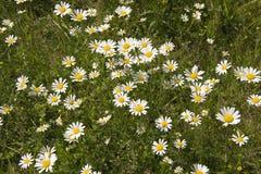 Shasta Gänseblümchen Lizenzfreie Stockbilder
