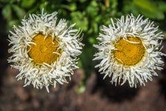 Shasta Gänseblümchen Stockfotos