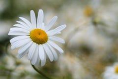 Shasta-Gänseblümchen stockbilder