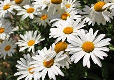 Shasta Gänseblümchenblumen lizenzfreies stockfoto