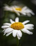 Shasta Macro. Macro of a Shast Daisy  in Utah USA Stock Images