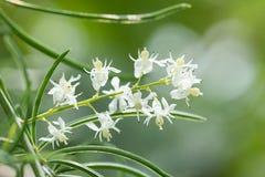 Shatavari (Szparagowy racemosus Willd ) , Ziołowa roślina zdjęcia royalty free