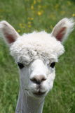 Shaved Alpaca face. Young white shaved Alpaca face Royalty Free Stock Image