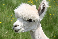 Shaved Alpaca face. Young white shaved Alpaca face Royalty Free Stock Photography