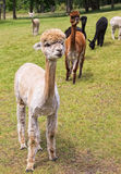 Shaved Alpaca in Field Royalty Free Stock Image