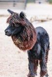 Shaved Alpaca Llama Stock Photography