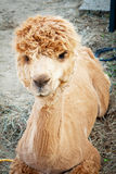 Shaved Alpaca resting in the farm. Shaved yellow Alpaca resting in the farm Stock Photos
