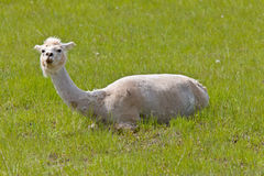 Shaved Sheared Llama Royalty Free Stock Photo